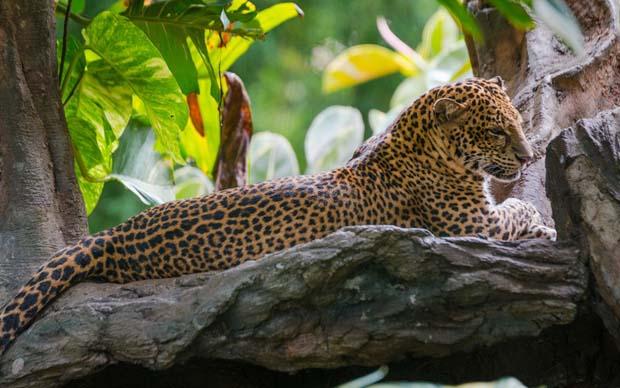 Leopard Packages | Bali Activities Tour | Bali Safari and Marine Park